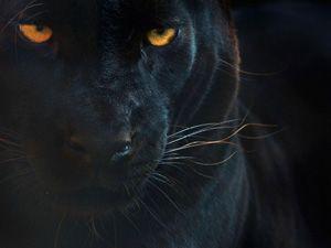 Wwf Big Cat Wallpaper Gallery Halloween Animals Panther Animals