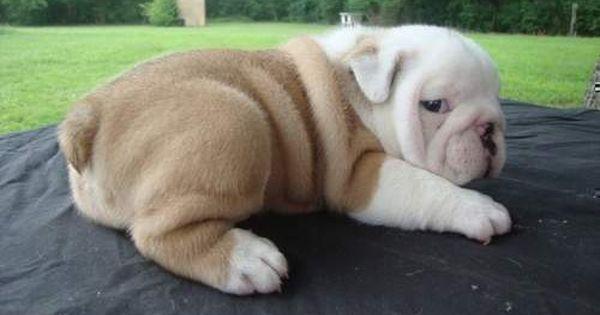 Miniature English Bulldogs Quality Mini English Bulldog Puppies