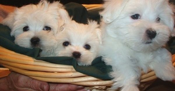 Pictures Of Cute Maltese And Chow Chow Pups In Delhi India Maltese Puppy Teacup Puppies Maltese Cute Dogs