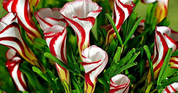 Nice for Christmas Oxalis Versicolor (Candy Cane Sorrel) is a unique bulb