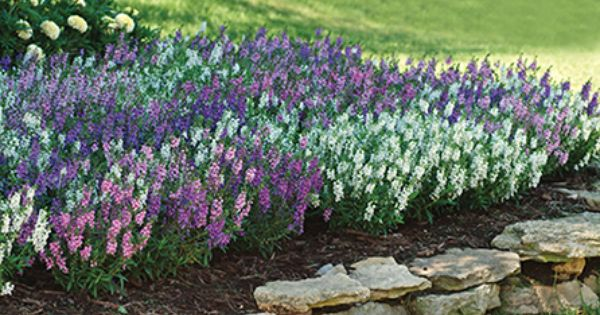 Angelonia serena mix this isn 39 t in your landscape plan for Good filler plants for landscaping