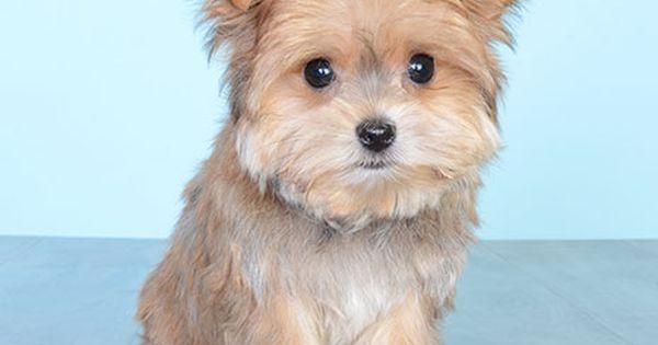 Puppies For Sale Orlando Fl Justpuppies Net With Images Puppies Puppies For Sale Cute Puppies
