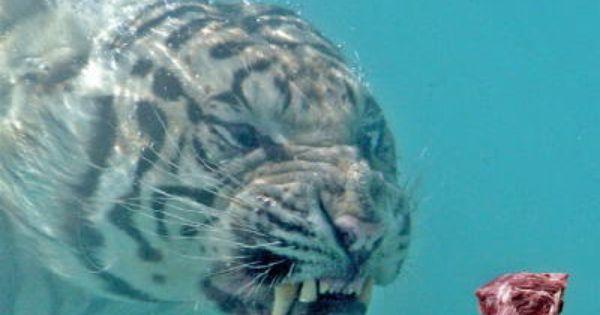 How to teach a big cat to swim.