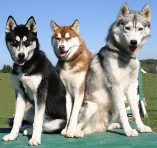 Siberian Huskies What S Good About Em What S Bad About Em
