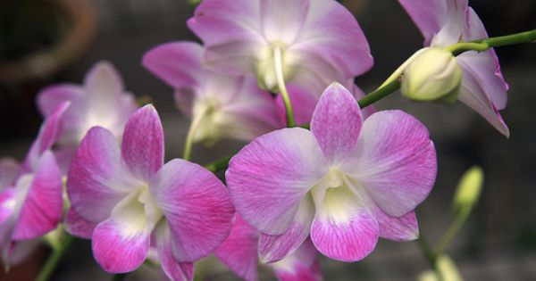 Orchid 4 Orchidee