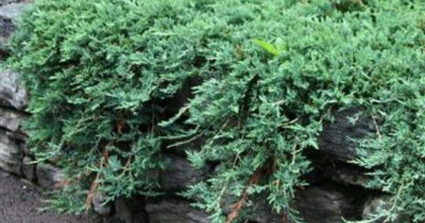 Juniper Blue Rug Conifer Plants Garden Shrubs Evergreen Landscape