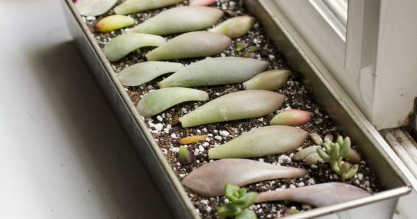 Rooting Succulent Leaf Cuttings with Honey,. this is an excellent site for