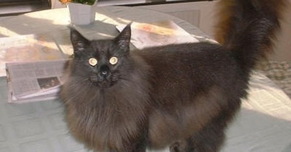Black Norwegian Forest Cat Looks Just Like My Romeo Black Norwegian Forest Cat Norwegian Forest Cat Cats