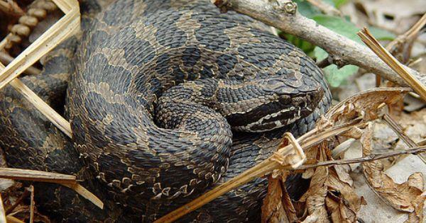 Michigan S Rattler The Eastern Massasauga Rattlesnake Rattlesnake North American Wildlife Rattlers