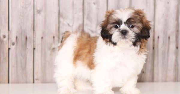 Shih Tzu Puppy For Sale In Mount Vernon Oh Adn 28589 On