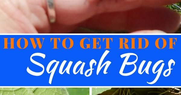 How to get rid of squash bugs squash bugs gardens and - How to get rid of bugs in garden ...