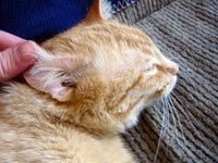 Get Rid Of Ear Mites Cat Ear Mites Cat Remedies Animal Facts