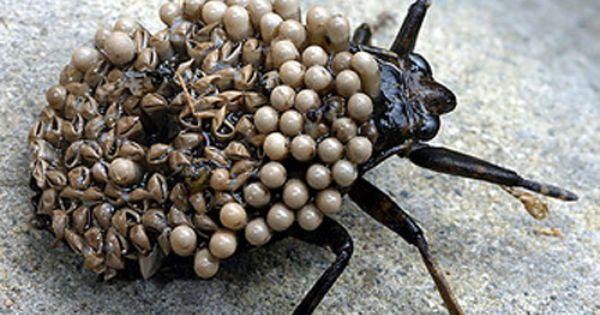 belostomatidae eggs oloom