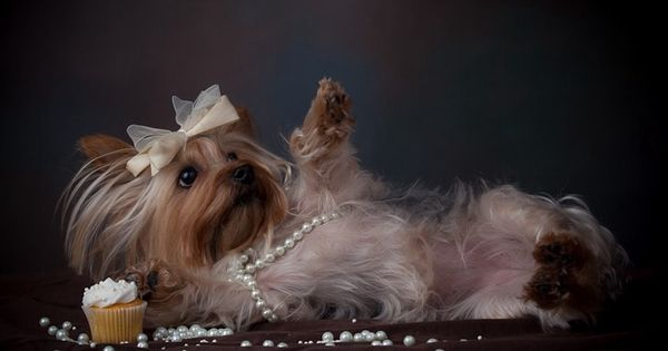 Draw Me Like One Of Your French Models Jack Yorkie Terrier Yorkie Puppy Yorkie