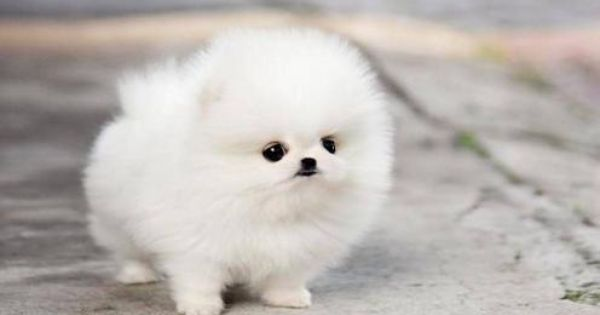Teacup Pomeranian Puppy Maggie Wallpaper Cute Dogs Images Cute Puppy Wallpaper Cute Baby Dogs