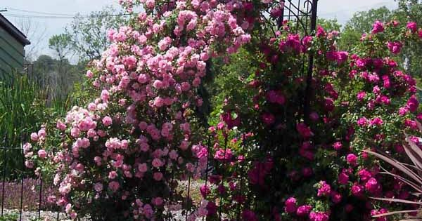 Front Yard Cottage Garden John Cabot Climbing Roses: Very Hardy For Northern Climates