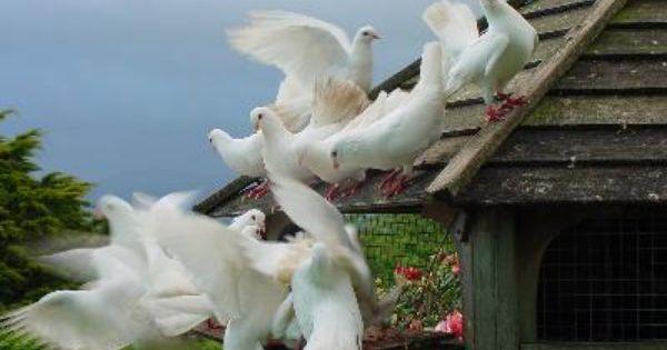 Diy Dovecote Plans Free Dove Keeping Guide Garden