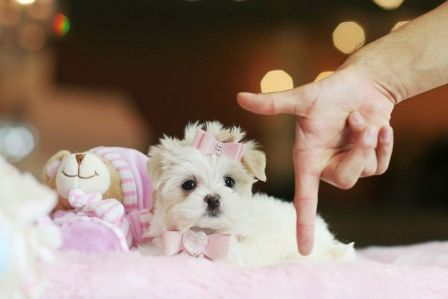 Dogs In Miami Www Teacuppuppiesstore Com 954 353 7864 With Images Teacup Puppies Teacup Puppies For Sale Puppies For Sale