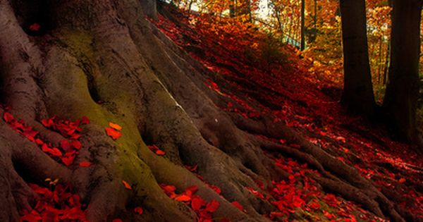 ~ Trees in the Crimson Forest, Bavarian Alps, Germany ~
