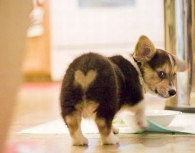 Sweet corgi puppy butt! I heart Corgi Butts!