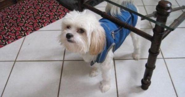 Maltese Shih Tzu Mix Shih Tzu Maltese Mix An Adoptable Dog In Wilmington Nc In Wilmington Dog Adoption Shih Tzu Maltese Mix Maltese Dogs