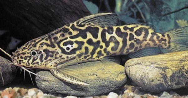 Marbled Synodontis Catfish Microcosm Aquarium Explorer Catfish Freshwater Fish Freshwater Aquarium