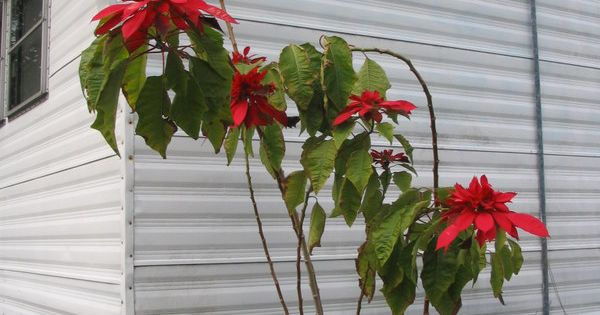 Poinsettia Growing Outside In Florida Flowers