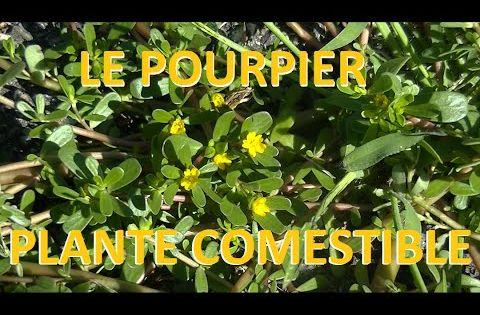 plante sauvage le pourpier comestible et m dicinale herbes pinterest montres et youtubers. Black Bedroom Furniture Sets. Home Design Ideas