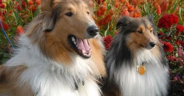 Collie Information Dog Breeds At Thepetowners Shetland Sheepdog Dog Breeds Best Dog Breeds