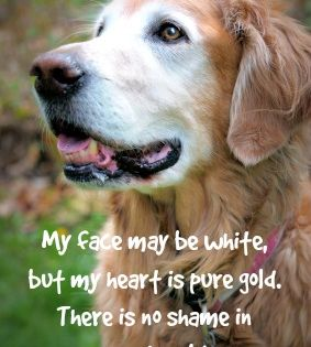 Senior Golden Retriever Featuring Heartwarming Old Dog Quote