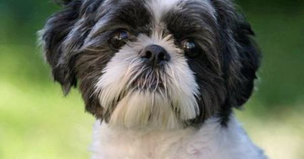 Black And White Shih Tzu Dogs Oreo The Shih Tzu Pictures 80687