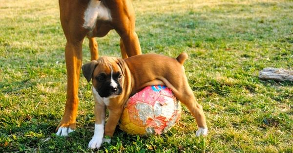 Litter Of 7 Boxer Puppies For Sale In Boise Id Adn 39720 On Puppyfinder Com Gender Male S And Female Boxer Puppies Puppies For Sale Boxer Puppies For Sale