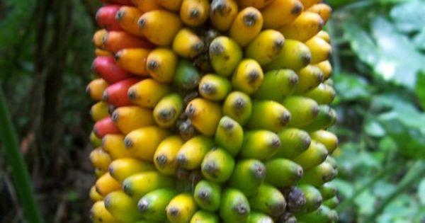cuban fruit | Cuban bananas | Patriciate | Pinterest ...