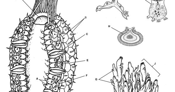 sponge anatomy coloring and information sheet