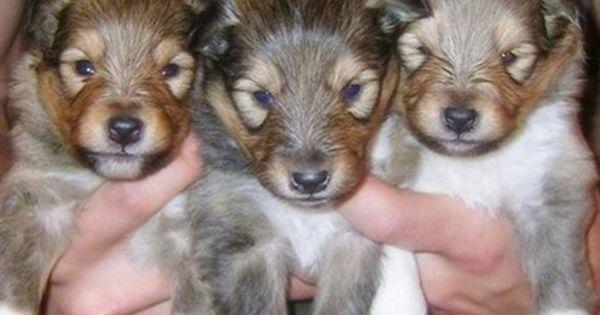 Sheltie Puppies Westchester Sheltie Puppy Puppies Cute Baby