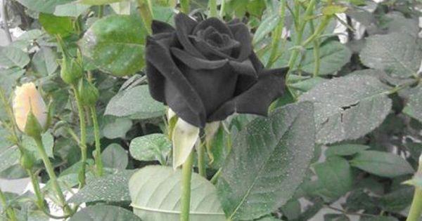Beautiful Black Rose Bush Flowers Amp Plants Pinterest