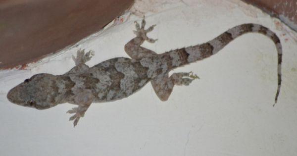 Tropical House Gecko Lizard Gecko Tropical Houses