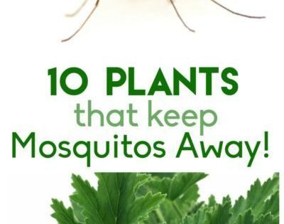 10 plants that keep the mosquitos away insects and yards