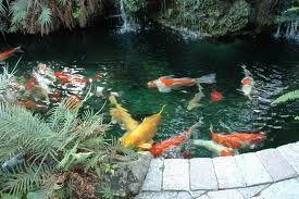 Concrete Koi Ponds Koi Fish Pond Fish Ponds Koi Pond