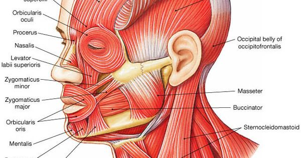 Throat Muscles