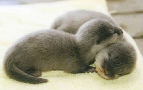 Baby otters. I love with these critters!