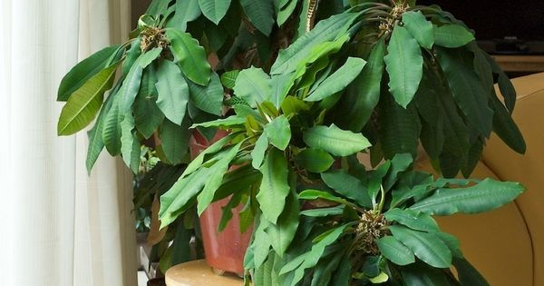 Euphorbia Leuconeura Jewel of Madagascar - WEH International