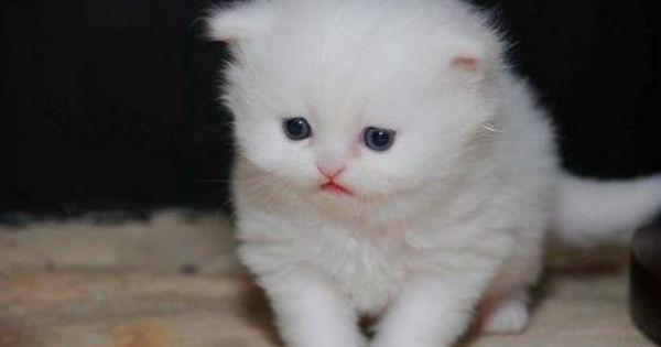 Tea Cup White Persian Angora Kitty Kitten Adoption Best Cat