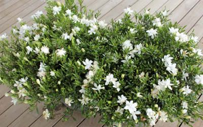 Creeping Gardenia Morning Sun Evening Shade Moderate Growing Shrub And Groundcover Plant Average Height 1 To Ground Cover Plants Dwarf Gardenia Plants