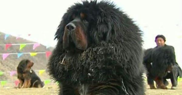 Tibetian Mastiff Mastim Mastiff Tibetano Mastim Tibetano