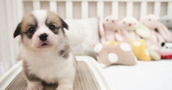 Pembroke Welsh Corgi Puppy For Sale In San Jose Ca Adn 54717 On Puppyfinder Com Gender Male Age 5 Weeks Pembroke Welsh Corgi Corgi Puppies For Sale Corgi