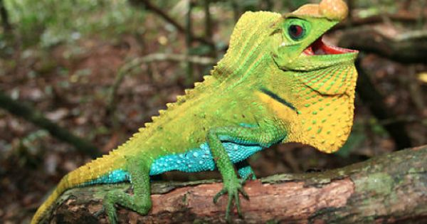 Lyriocephalus Scutatus Is A Species Of Lizard Within The Agamid Family It Is The Largest Agamid Endemic To Sri Lanka And Li Lizard Species Rare Animals Lizard