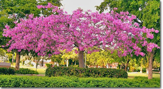 Tropical Designs Of Florida Flowering Trees Trees To Plant Tropical Tree