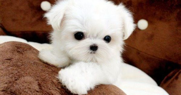 Cute White Fluffy Puppy Cute Dogs And Puppies Teacup Puppies Cute Baby Animals