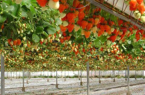 Une culture de fraisiers en hors sol planter des - Planter fraisier en jardiniere ...